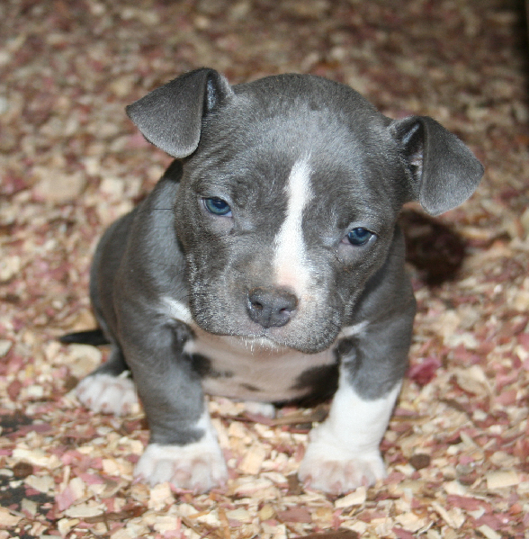 Cute Pitbull Puppy Photo