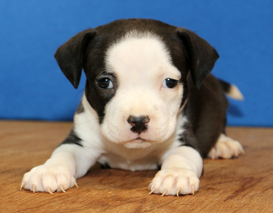 Beautiful white faced pitbull puppy looking at camera