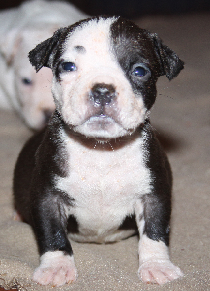 Pitbull Puppy Picture milk everywhere by Don Guerrieri of HardRockBullys
