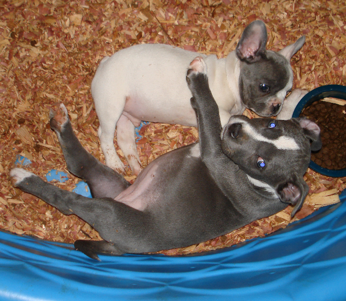 Picture of Pitbull Puppy and Frenchie by Don Guerrieri of HardRockBullys