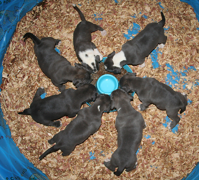 Picture of Pitbull Puppies by Don Guerrieri of HardRockBullys